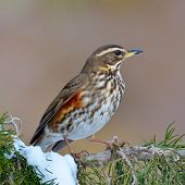 stock photo of brown thrush  - red wing thrush  - JPG