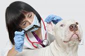 Female veterinarian checking ear's of dog against gray background