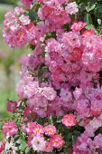 picture of climbing rose  - Bush of pink climbing roses in a garden - JPG