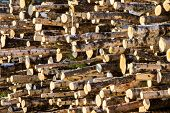 Woodpile In Sunshine