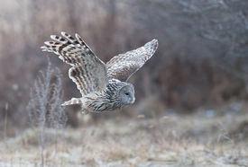 stock photo of owl eyes  - Ural Owl flying into the forest.