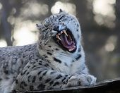 stock photo of snow-leopard  - Frontal view of a Roaring Snow leopard