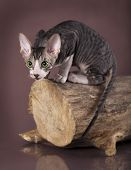 Cornish rex kitten, 3 months