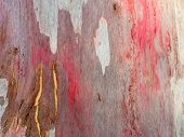 Colorful Gum Tree Bark