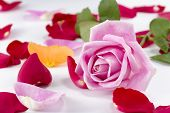 Collection Of Rose Petals With A Pink Rose On Top