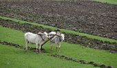 image of farmworker  - Plowing rice fields with an ox team in Myanmar - JPG