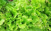 Fresh Vegetable Salad Leaf