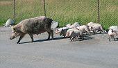 Georgian Pigs