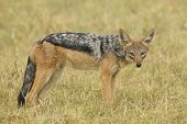 foto of jackal  - Male Black Backed Jackal in South Africa - JPG