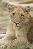 Female African Lion (panthera Leo) South Africa