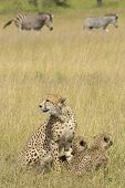 Female Cheetah (acinonyx Jubatus) With Cubs South Africa