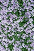 Carpet Of Phlox Flowers