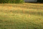 Pine Straw In Grass