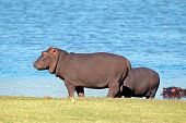 Hippopotamus (Hippopotamus amphibius) outside the water, South Africa