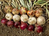 pic of root-crops  - harvested home grown onion bulbs different varieties - JPG