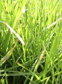 Frisches Sommer-Gras