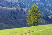 larch and green meadow in spring time