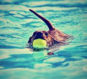 a dachshund with a ball in his mouth done in a vintage retro instagram filter