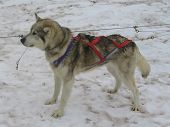 foto of husky sled dog breeds  - Alaskan husky in musher camp ready for dog sledding - JPG