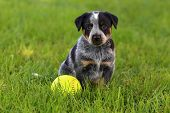 Australian Cattle Dog sitting in lush green grass with baseball