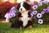 Bernese Mountain Dog puppy sitting in grass