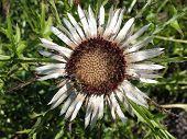 foto of pubescent  - Сarlina acaulis, Compositae, and Eristalis tenax, Hoverfly - JPG
