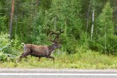 foto of laplander  - Reindeer running on the side of the road in the green forest - JPG