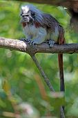 Cotton-top Tamarin On A Tree poster