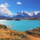 Neverland Patagonia. Emerald Lake Pehoe water on the hill stands a graceful guanaco. Away in the clo