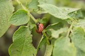 pic of potato bug  - The red colorado beetle - JPG
