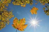 Falling Maple Leaves And Blue Sky With Bright Sun, View From Below