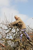 Aged Gardener In The Tree Crown, Cutting Apple Tree