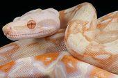 Albino snake / Boa constrictor