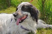 stock photo of english setter  - English Setter resting in the grass on a hot summer day - JPG
