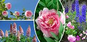 Collage Of Rose, Paeony, Garden Lupin And Delphinium