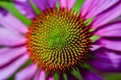 Purple Coneflowers (Echinacea)