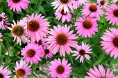 stock photo of black-eyed susans  - Pink black eyes susan flower in garden - JPG