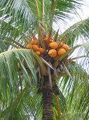 Closeup Cocunut Palm Tree