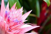 Aechmea Flower Closeup