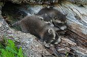 Baby Raccoon Pileup (procyon Lotor)