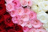 Pink, white, red roses background