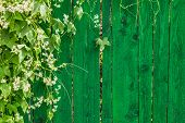 Green Wooden Fence And Plant