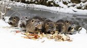 Nutrias In Winter