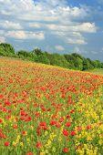 Poppies and conola