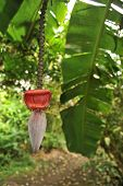Banana Leaf And Flower Hang In A Tropical Forest