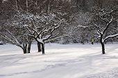 Snowy Fruit Trees