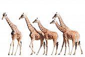 Giraffes Isolated on White