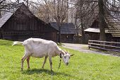 Goat At Farm