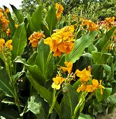Yellow Cannas