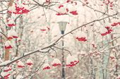 picture of mountain-ash  - Snow - JPG